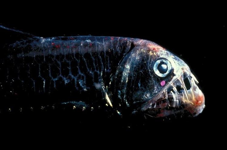 Cá rắn lục (ViperFish)