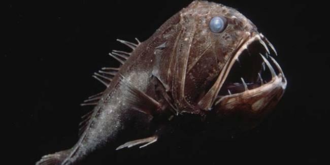 Cá răng nanh (Fangtooth)