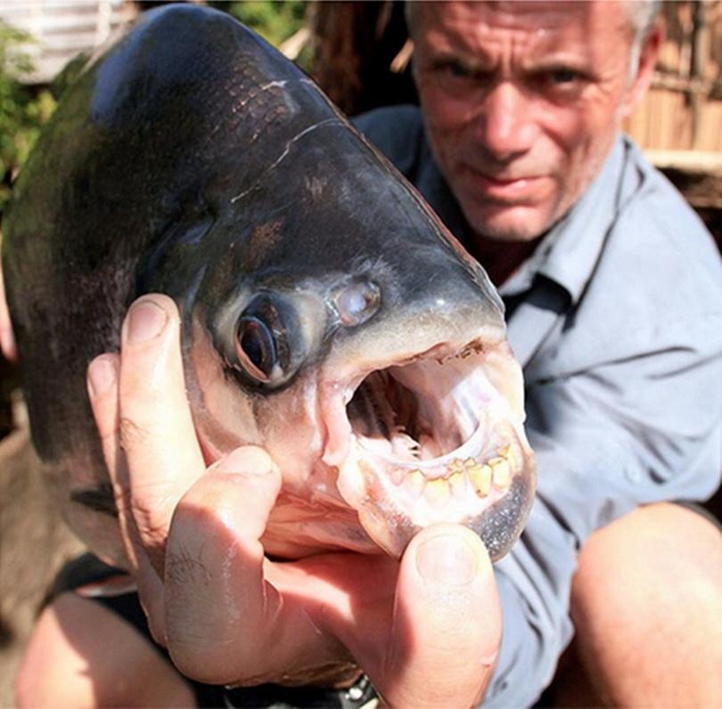 """Con cá Pacu - được biết đến ở địa phương với cái tên """"kẻ cắt tinh hoàn"""", vốn đã giết nhiều người đàn ông bằng cách cắn đứt cơ quan sinh dục của họ. Jeremy đã vật lộn với con quái vật nặng 40 pound (khoảng 16kg) trong vòng 15 phút và kinh ngạc khi thấy con cá có bộ răng giống y người."""