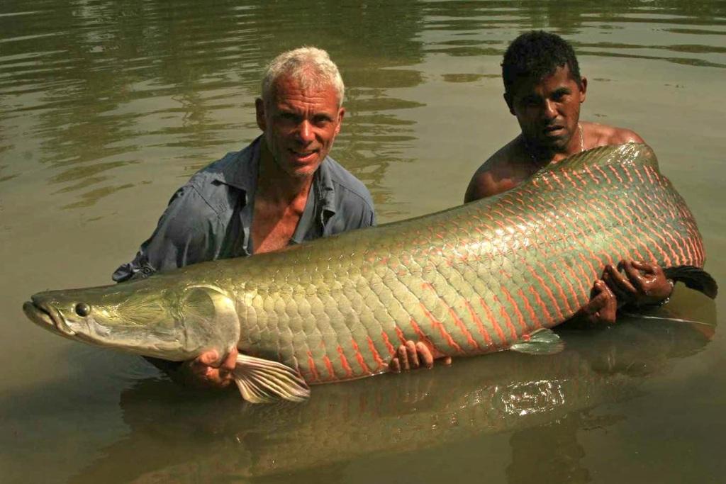 Một con arapaima nặng gần 70kg. Con cá này bị bắt ở bãi sông Rio Maderia, một bãi sông cạn, nhiều phù sa ở Brazil. Tuy to xác nhưng cá arapaima rất nhát gan. Khi bị giật mình, nó quẫy và bắn nước rất mạnh. Khi săn loài cá này, bạn đừng làm chúng hoảng sợ, chỉ khi bạn thấy nó nổi lên và bơi nhẹ nhàng thì bạn mới có cơ may bắt được nó.