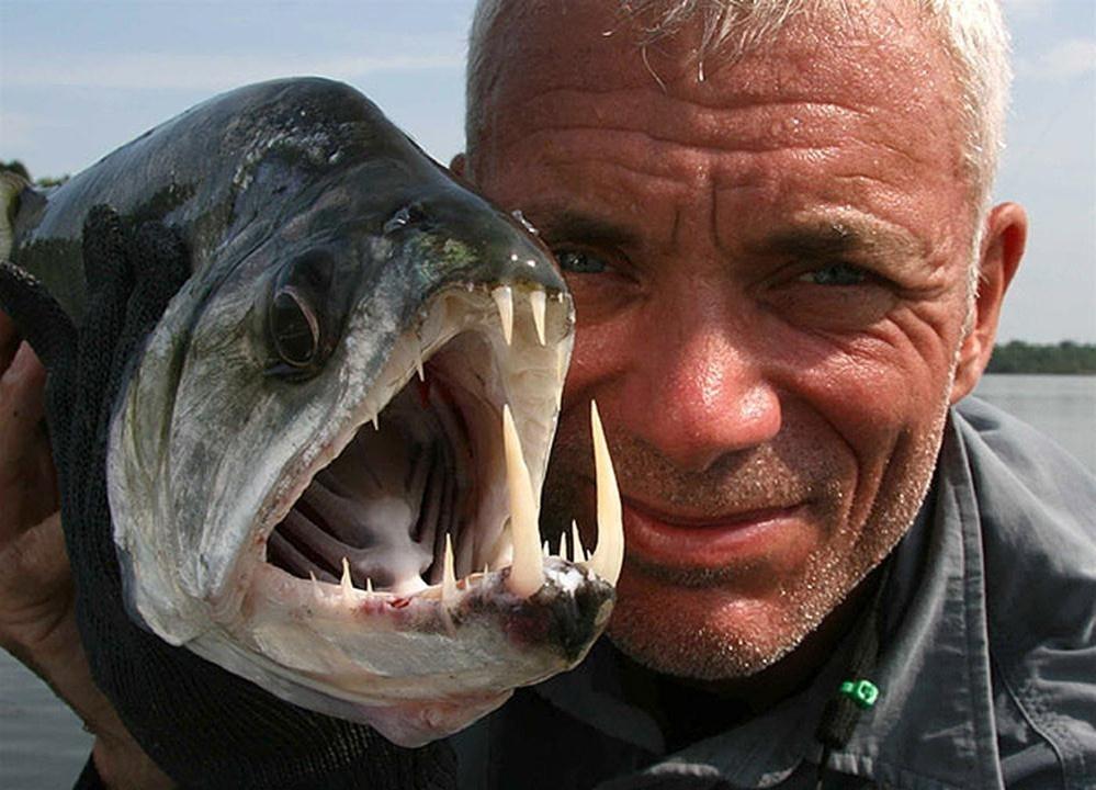 """Một họ hàng gần của loài piranha, loài cá payara này còn được gọi là cá """"ma cà rồng"""" vì cặprăng nanh dài sắt nhọn của nó. Loài cá này ít nổi tiếng hơn loài họ hàng của mình, chúng sống ở sông Orinoco, Venezuela."""
