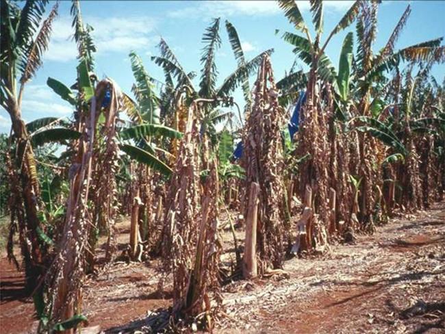 Bệnh panama khiến cây chuối bị khô héo và tàn lụi.
