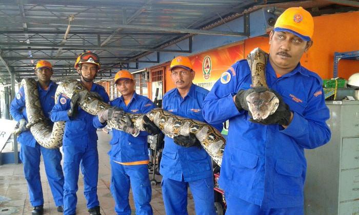 Công nhân Malaysia chụp ảnh cùng con trăn dài 8m.