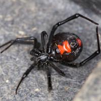 Phản ứng cơ thể sau vết cắn của nhện góa phụ đen