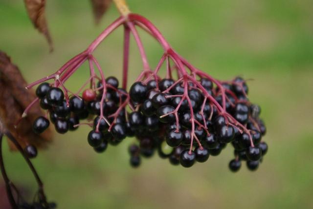 Elderberries (quả cây cơm cháy)