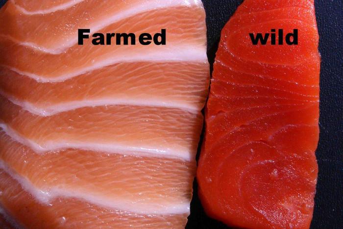 Cá hồi nuôi có màu sắc nhợt nhạt hơn cá hoang dã.