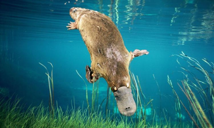 Thú mỏ vịt (Duck-billed platypus)
