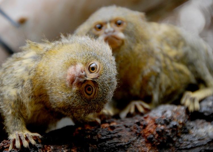 Khỉ lùn đuôi sóc châu Mỹ (Pygmy marmoset)