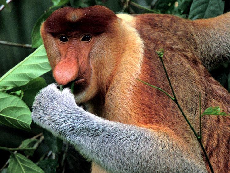 Khỉ mũi dài (Proboscis monkey)