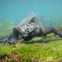 """Video: """"Tiểu khủng long"""" gặm tảo biển dưới đáy Thái Bình Dương"""