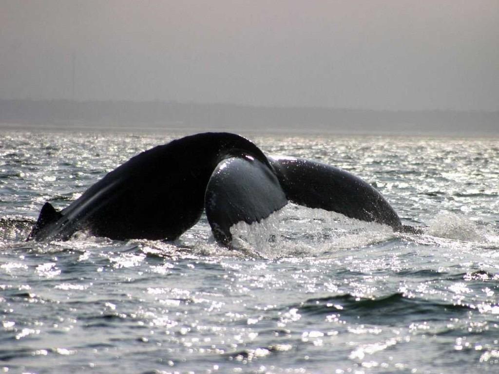 Chèo thuyền kayak ở vịnh Fundy ở New Brunswick, Nova Scotia. Rất có thể bạn sẽ gặp một con cá voi lưng gù.