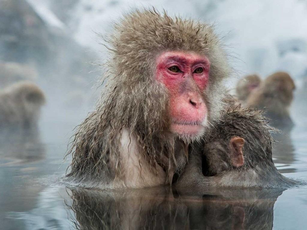 Làm quen với những con khỉ tuyết Nhật Bản và tắm suối nước nóng ở Nagano, Nhật Bản