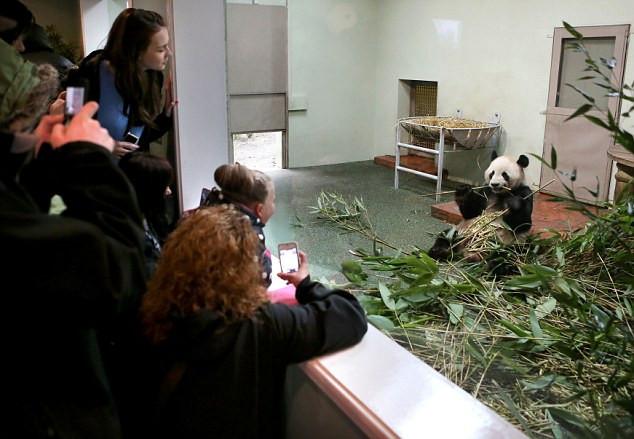 Chú gấu Tian Tian được chụp năm 2011.