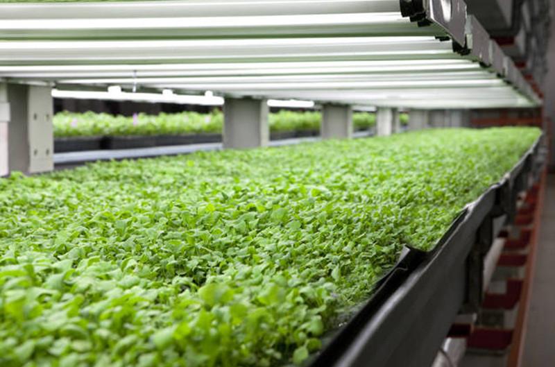 Sản lượng rau mà nông trại Farmedhere có thể cung cấp ra thị trường lên tới khoảng 450 tấn mỗi năm.