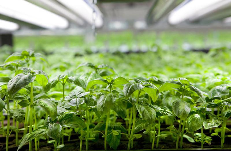Trang trại này có thể trồng được các loại rau thơm.