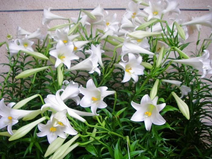 Loa kèn được coi là loài hoa biểu tượng cho tháng 4 Hà Nội với sắc trắng tinh khôi.