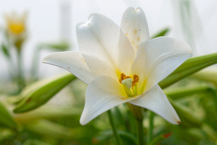 Hoa được bán trong chợ cùng nhiều tuyến đường trong thành phố, song nhiều người vẫn cất công tìm đến các nhà vườn để thưởng lãm.