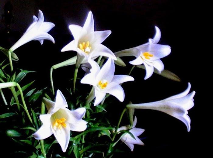 Tại Hà Nội, hoa loa kèn được trồng nhiều ở Tây Tựu và Nhật Tân