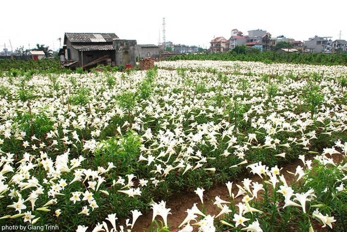 Hoa thường nở bắt đầu từ tháng 3 âm lịch và rộ vào giữa đến cuối tháng 4.