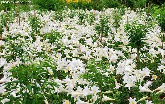 Hoa được trồng thành các luống, thẳng tắp nên khách có thể dễ dàng vào ngắm và chụp ảnh.