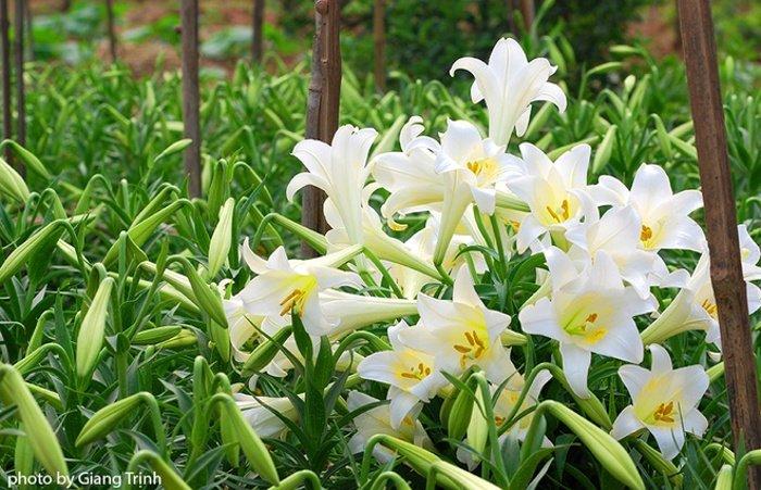 Một chủ vườn cho biết vào những năm sương muối hoặc thời tiết bất thường, hoa nở muộn và hay bị sâu nên họ thường để cho hoa nở bung tạo nên cả một thảm hoa trắng.