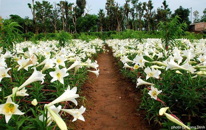 Hoa loa kèn trắng chỉ nở duy nhất một tháng trong năm, và còn có tên gọi khác là Huệ Tây.