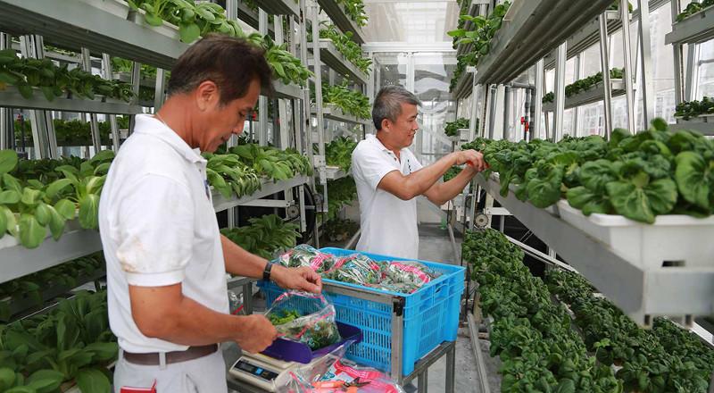 Sky Green Farm có thể trồng được các lại rau quả nhiệt đới.