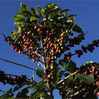 Tại sao chỉ một số nơi trồng được cà phê ngon nhất thế giới?