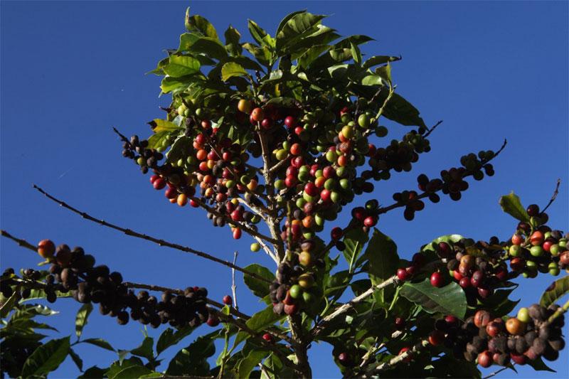 Cây cà phê được đánh giá là khó tính về nơi sinh trưởng tốt nhất.