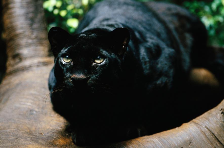 Báo đen Bagheera