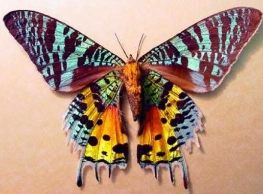 Bướm đêm hoàng hôn Madagasca là loài bướm có màu sắc vô cùng độc đáo.