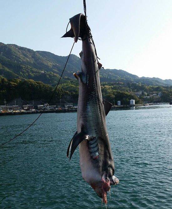 Con cá mập vô cùng hiếm gặp này đã chết khi người ta mới gặp lại nó kể từ năm... 1976.