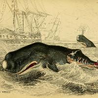 Cá nhà táng đực dùng trán húc tình địch và làm chìm thuyền