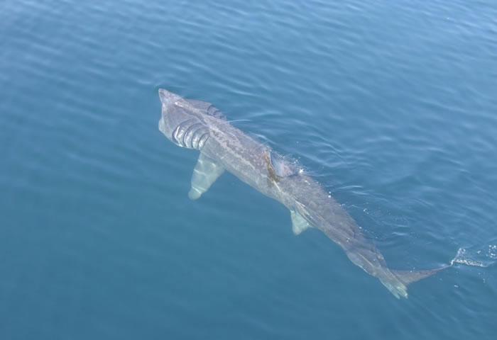 Cá nhám phơi năng có chiều dài có thể gần 12,5m.