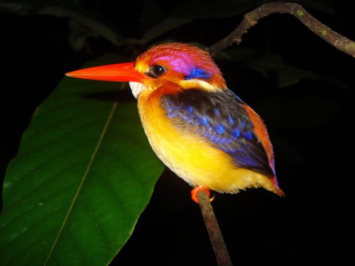 Chim bồng chanh lưng đen có độ dài khoảng 13cm.