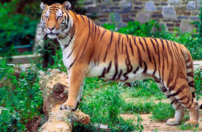Trên thế giới chỉ còn khoảng 3000 cá thể hổ.