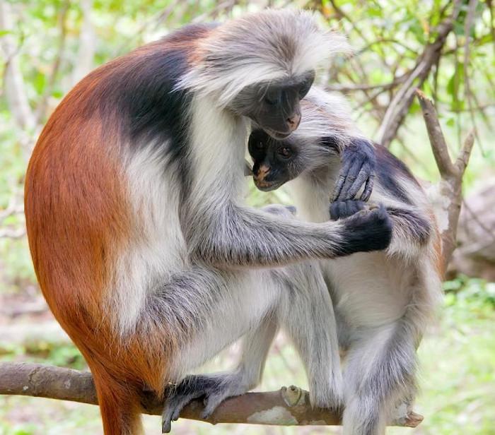 Khỉ đỏ Colobus Zanibar hiện nay chỉ còn khoảng 3000 cá thể trong tự nhiên.
