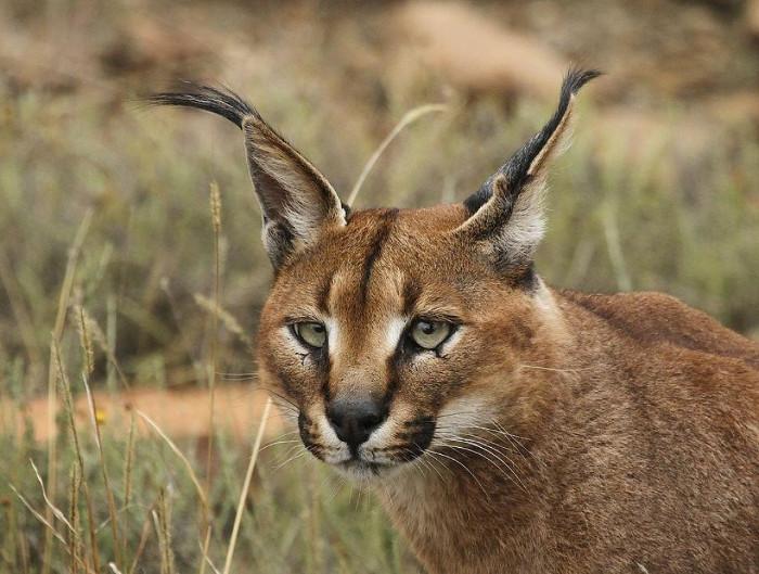 Linh miêu tai đen còn được gọi là mãn rừng, chúng ở khắp châu Phi, Trung Đông...