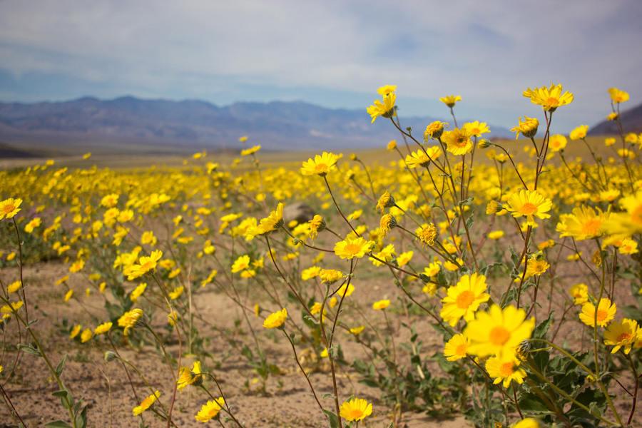 Cảnh tượng sa mạc nở hoa tuyệt đẹp ở thung lũng Chết cả thập kỷ mới xảy ra một lần đã khiến nhiều người không khỏi ngạc nhiên sửng sốt.