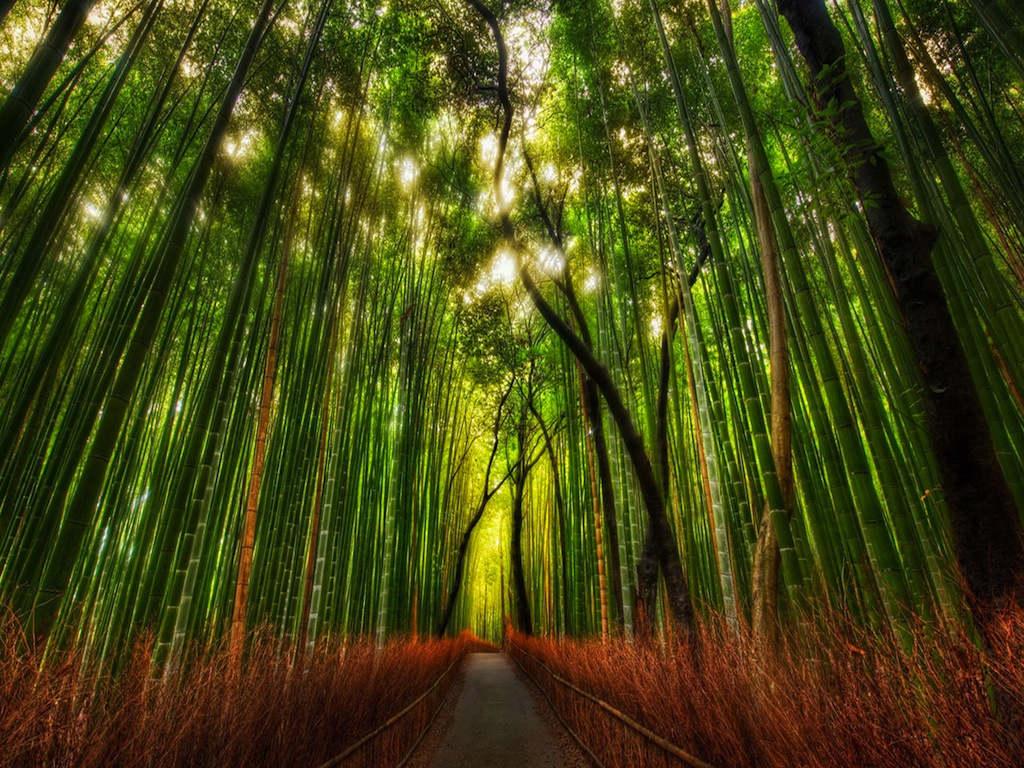 Rừng trúc ở Nhật