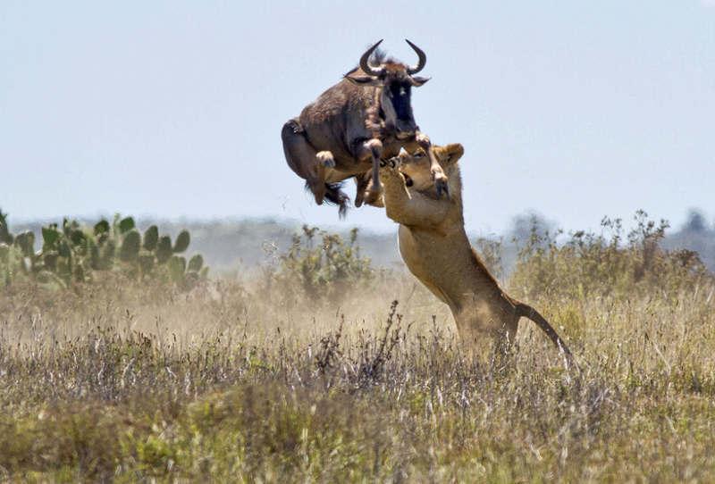 Cú nhảy cao ngoạn mục của chú linh dương đã giúp nó thoát chết khỏi con sư tử hung dữ
