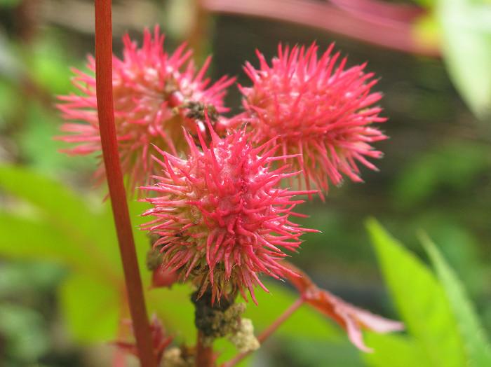 Ricin được trích xuất từ hạt của cây thầu dầu (Ricinus communis).