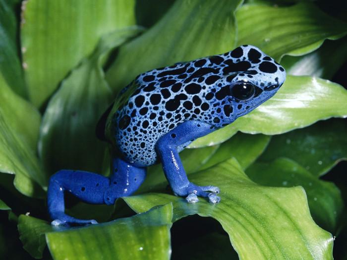 Chất độc Batrachotoxin được lấy từ những con ếch độc.