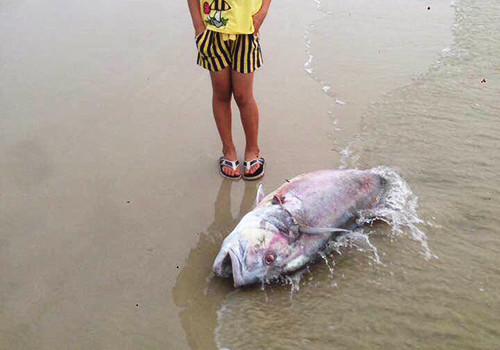 Một con cá vẩu trọng lượng lên đến 35kg chết dạt vào bờ biển xã Lộc Vĩnh vào ngày 18/4.