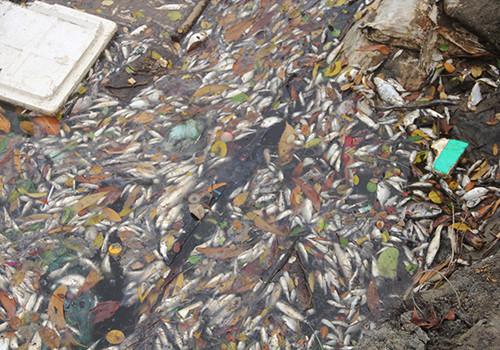 Nhiều loài cá được người dân nuôi ở hồ nuôi ven biển xã Lộc Vĩnh, huyện Phú Lộc (Thừa Thiên - Huế) chết trắng, dạt bờ.