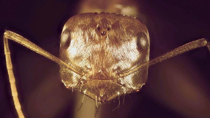 """Bộ """"tóc"""" đặc biệt có màu ánh kim, bao phủ toàn bộ phần đầu của loài kiến bạc Sahara."""