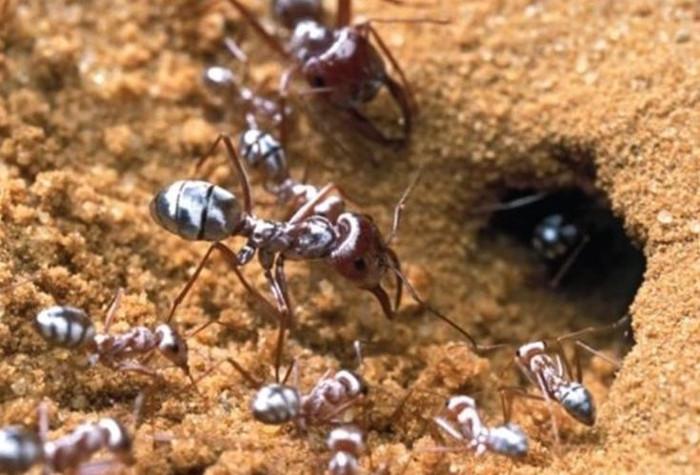Các sợi lông trên lưng của kiến bạc Sahara chịu trách nhiệm về màu sắc của chúng.