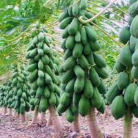 Kỹ thuật trồng cây đu đủ sai quả quanh năm, ít sâu bệnh