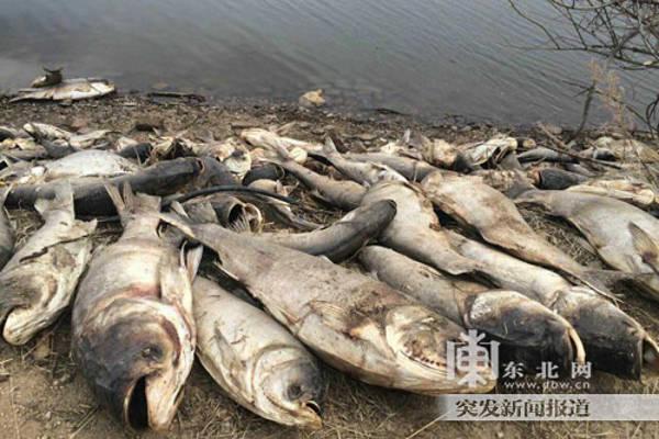 Trung Quốc đã phát hiện khoảng 5 tấn cá, chủ yếu là cá chép, chết bất thường trong một hồ nước ở quận Sifangtai thuộc tỉnh Hắc Long Giang