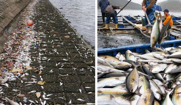 Gần 36 tấn cá nuôi bị chết đồng loạt do sự bùng nổ của các loại tảo độc hại ở Hong Kong